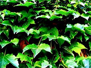Wrigley Field Ivy Postcard